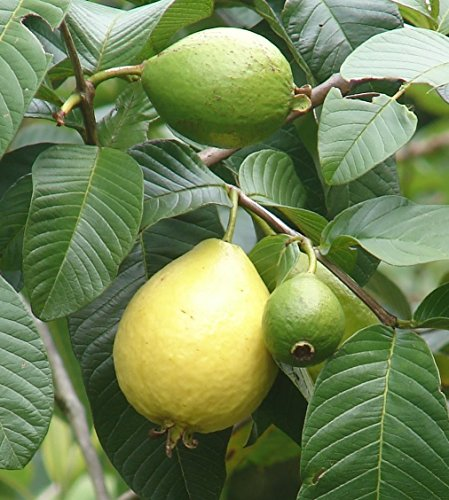 15 seeds Common Guava (Psidium Guajava) Fruit Tree - AsitiGift
