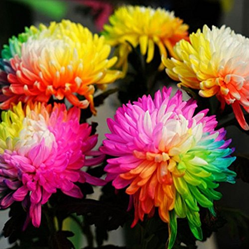 20Pcs Rainbow Chrysanthemum Seeds - AsitiGift