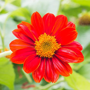 1000Pcs Seeds Red Mexican Sunflower Seeds Plant - AsitiGift