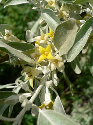 10 Seeds Elaeagnus angustifolia Russian Olive Showy Yard Tree - AsitiGift