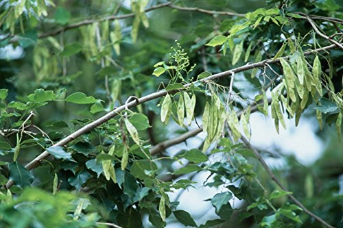 10 Seeds Dalbergia sissoo Indian or Honey Rosewood Tree - AsitiGift