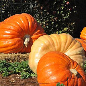 Giant Pumpkin Seeds - AsitiGift