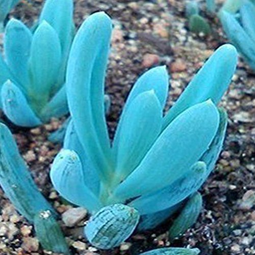 300 Mix Succulent Seeds Lithops Pseudotruncatella Bonsai Plants Seeds - AsitiGift