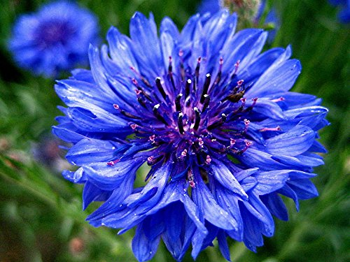 1000Pcs Dwarf Blue Cornflower / Bachelor Button Seeds - AsitiGift