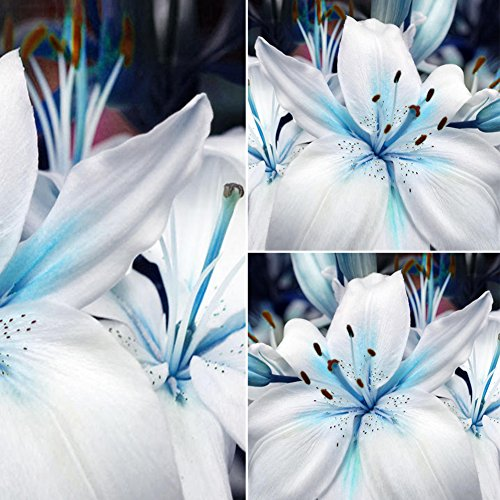 50Pcs Blue Heart Lily Plant Seeds - AsitiGift