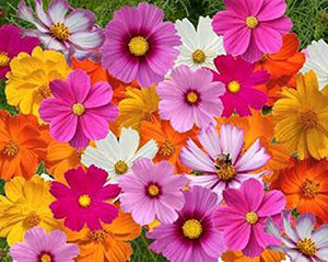 1000Pcs Cosmos Seeds in a Mixture of 11 Varieties - AsitiGift