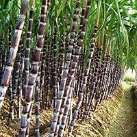 200Pcs Sugar Cane Seeds Rum Syrup Rock Candy Sugar Crystals - AsitiGift