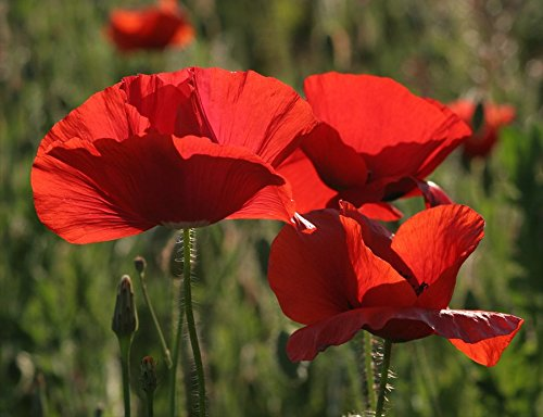 Red Corn Poppy Seeds 0.5 OZ, 100,000+ Seeds - AsitiGift