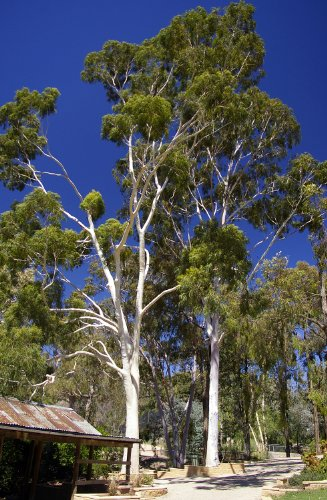 25 Seeds Lemon-Scented Gum Eucalyptus citriodora Tree - AsitiGift