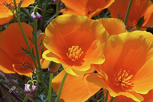 20,000Pcs Orange California Poppy Seeds - AsitiGift