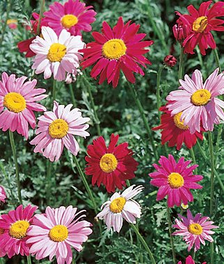 5000Pcs Chrysanthemum Carinatum Painted Daisy Seeds - AsitiGift