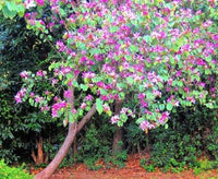 12 Pcs Bauhinia Purpurea Purple Orchid Tree Seeds - AsitiGift