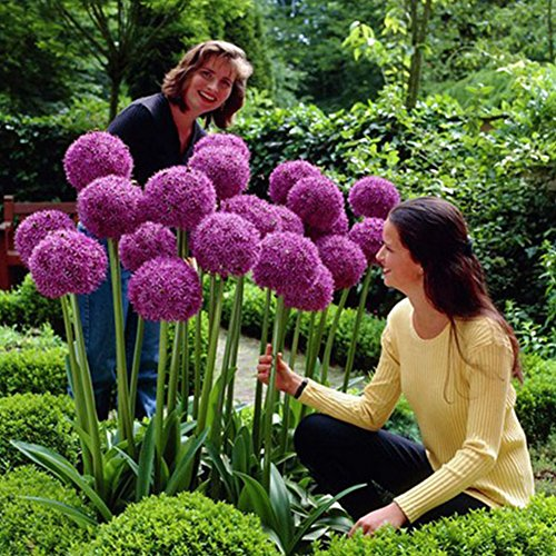 Giant Allium Giganteum Onion Flower Seeds - AsitiGift