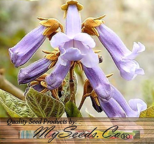 5000Pcs Paulownia Elongata Tree Seeds aka Empress Tree - AsitiGift