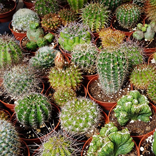 Cactus Seed Mix - 1000 seeds - AsitiGift
