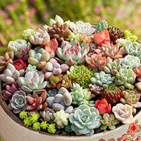 300 Mix Succulent Seeds, Lotus Lithops Pseudotruncatella Bonsai Plants Seeds - AsitiGift