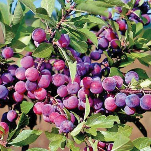 Homegrown Plum Seeds, 7Pcs Dunbars Plum Tree - AsitiGift