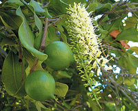 4Pcs Hawaiian Macadamia Nut Tree Plant Seeds - AsitiGift