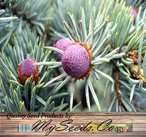 1,000Pcs Colorado Blue Spruce Picea pungens glauca Tree Seeds - AsitiGift