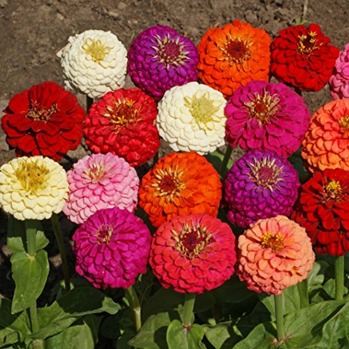 1000Pcs Zinnia Elegans Lilliput Mix Seeds - AsitiGift