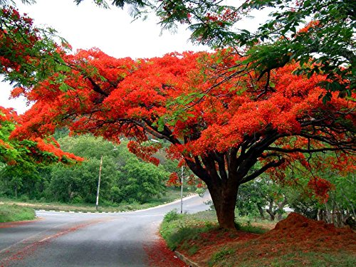 10 Seeds Delonix regia Flamboyant Royal Poinciana Ornamental Tree - AsitiGift
