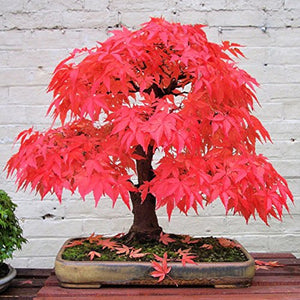 40pcs Romantic Natural Blossom Bonsai Garden Red Maple Seed - AsitiGift