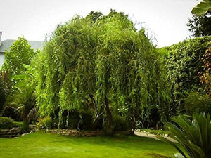 Corkscrew Curly Weeping Willow Tree - Quart Pot - AsitiGift