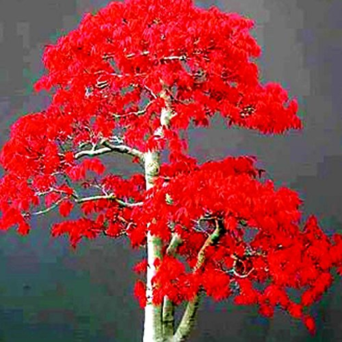 20Pcs Chinese Bonsai Maple Tree Seeds Bonsai Plants Trees - AsitiGift