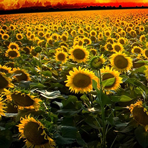 1000Pcs Wild Sunflower Helianthus Annuus Seeds - AsitiGift