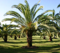 15Pcs Canary Island Date Palm Tree Seeds Premium Quality Tree Seeds - AsitiGift