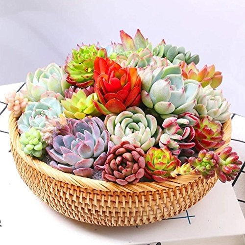 100Pcs Mix Succulent Seeds Lithops Pseudotruncatella Bonsai Plants Seeds - AsitiGift