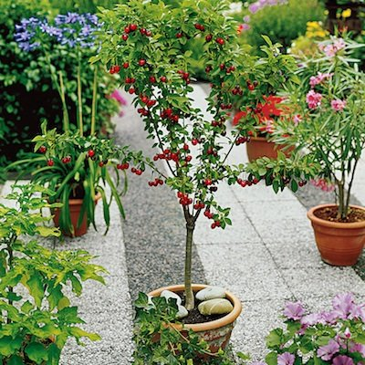 10Pcs Dwarf Cherry Tree Self-Fertile Fruit Tree Seeds - AsitiGift