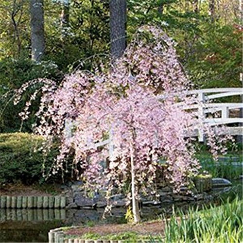 Japanese Sakura Flowering Cherry Tree Seed Bonsai Garden - AsitiGift