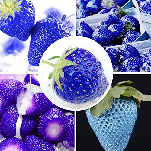 300Pcs Blue Climbing Strawberry Seeds Tree Seed - AsitiGift