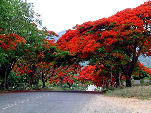 12Pcs Delonix Regia Royal Flower Poinciana Flame Tree - AsitiGift