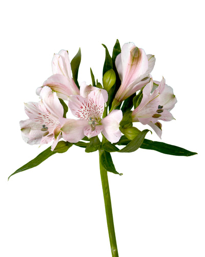 "Seattle Alstroemeria ""SUPREMA"""