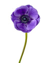Blue (Purple) Anemone