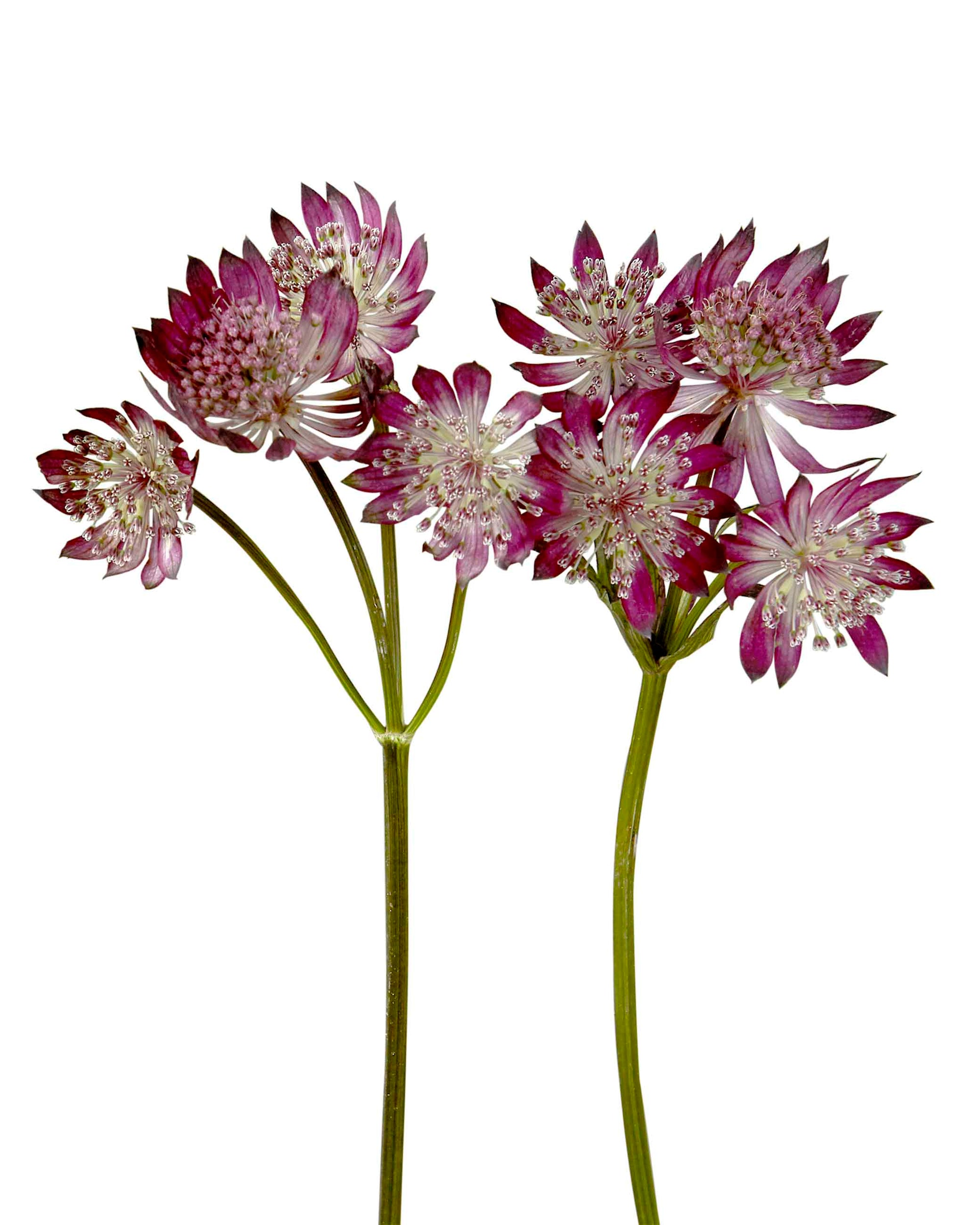 Astrantia Burgundy
