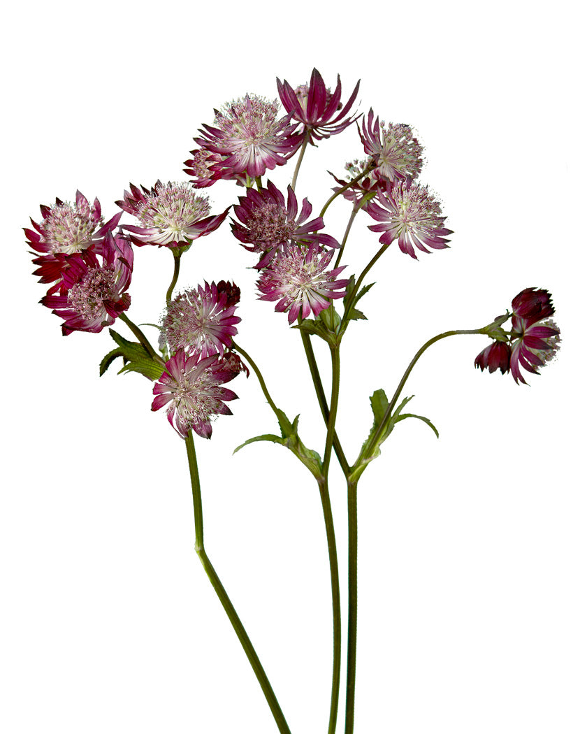 Astrantia Red (Burgundy)