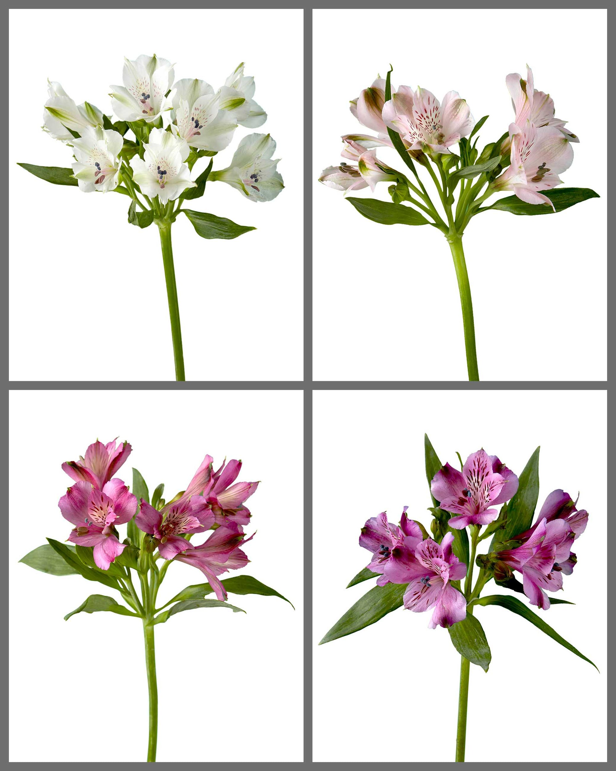 "Alstroemeria Mixed Box 221 ""SUPREMA"""
