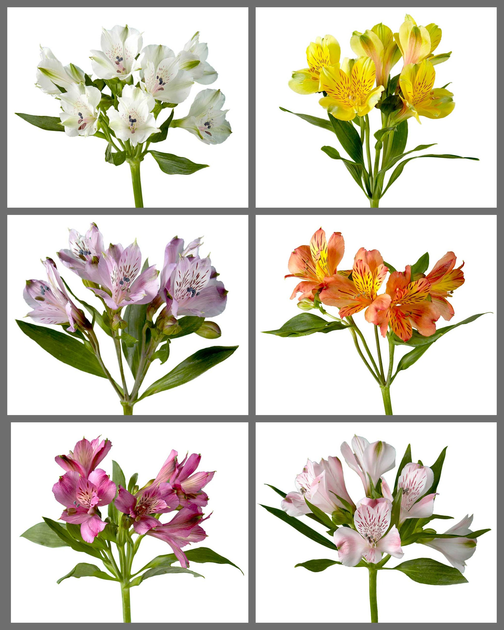 "Alstroemeria Mixed Box 225 ""SUPREMA"""