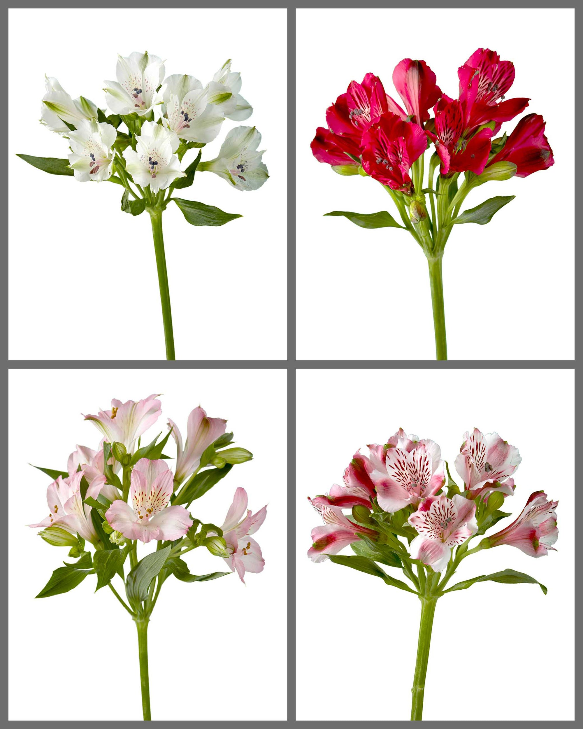"Alstroemeria Mixed Box 222 ""SUPREMA"""