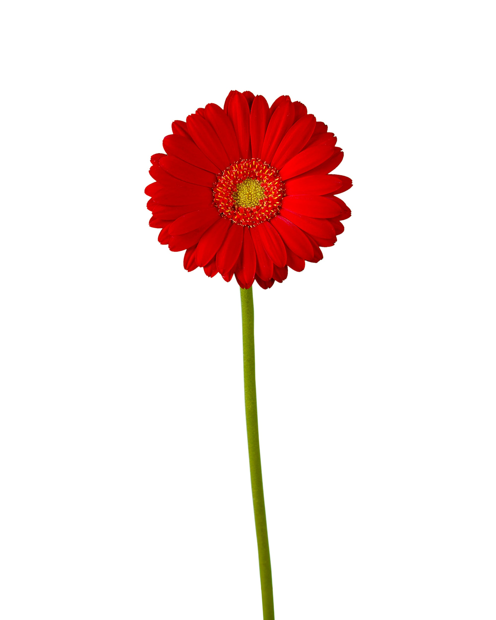 Choice Red Mini Gerber Daisy