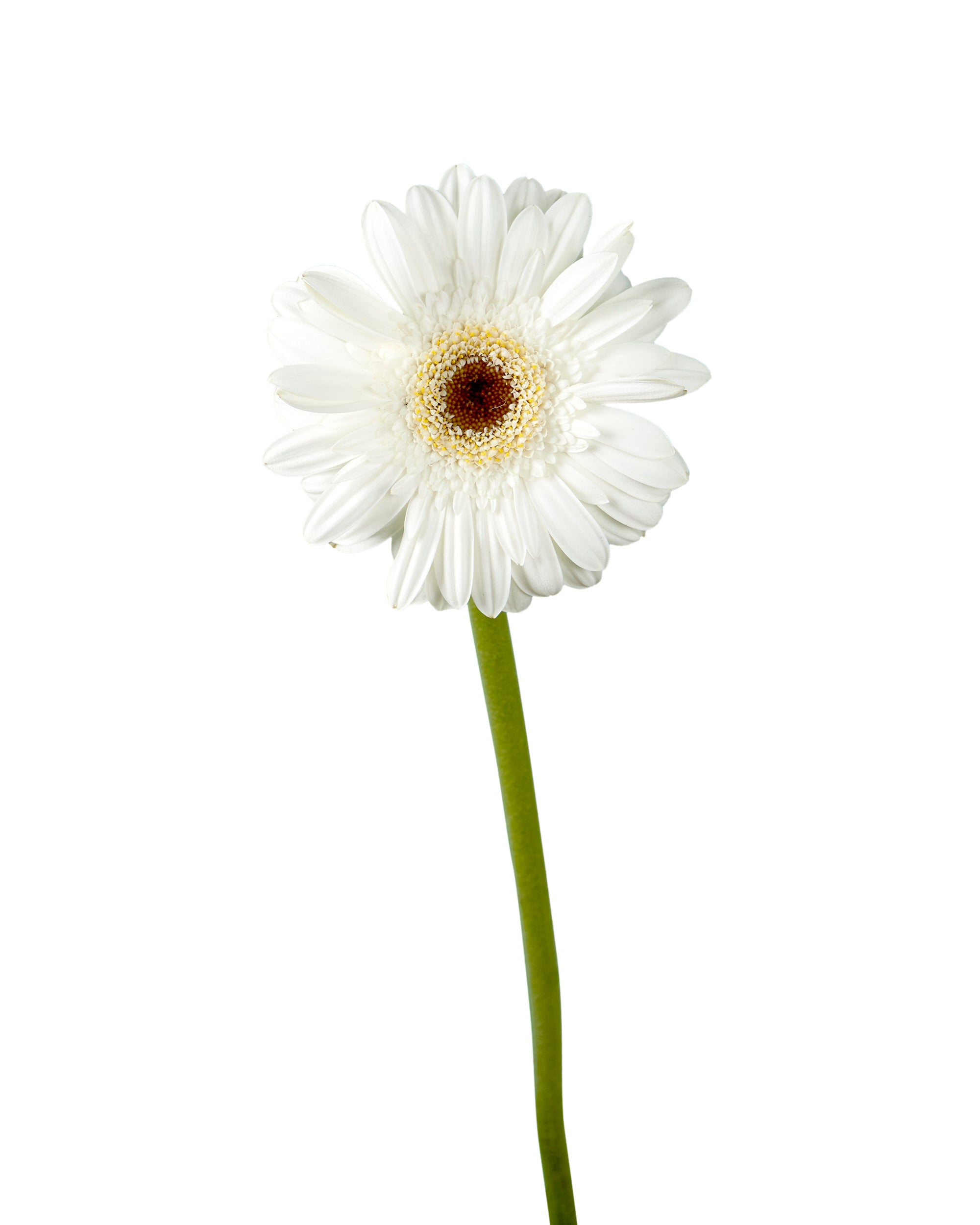 Domino Mini Gerber Daisy