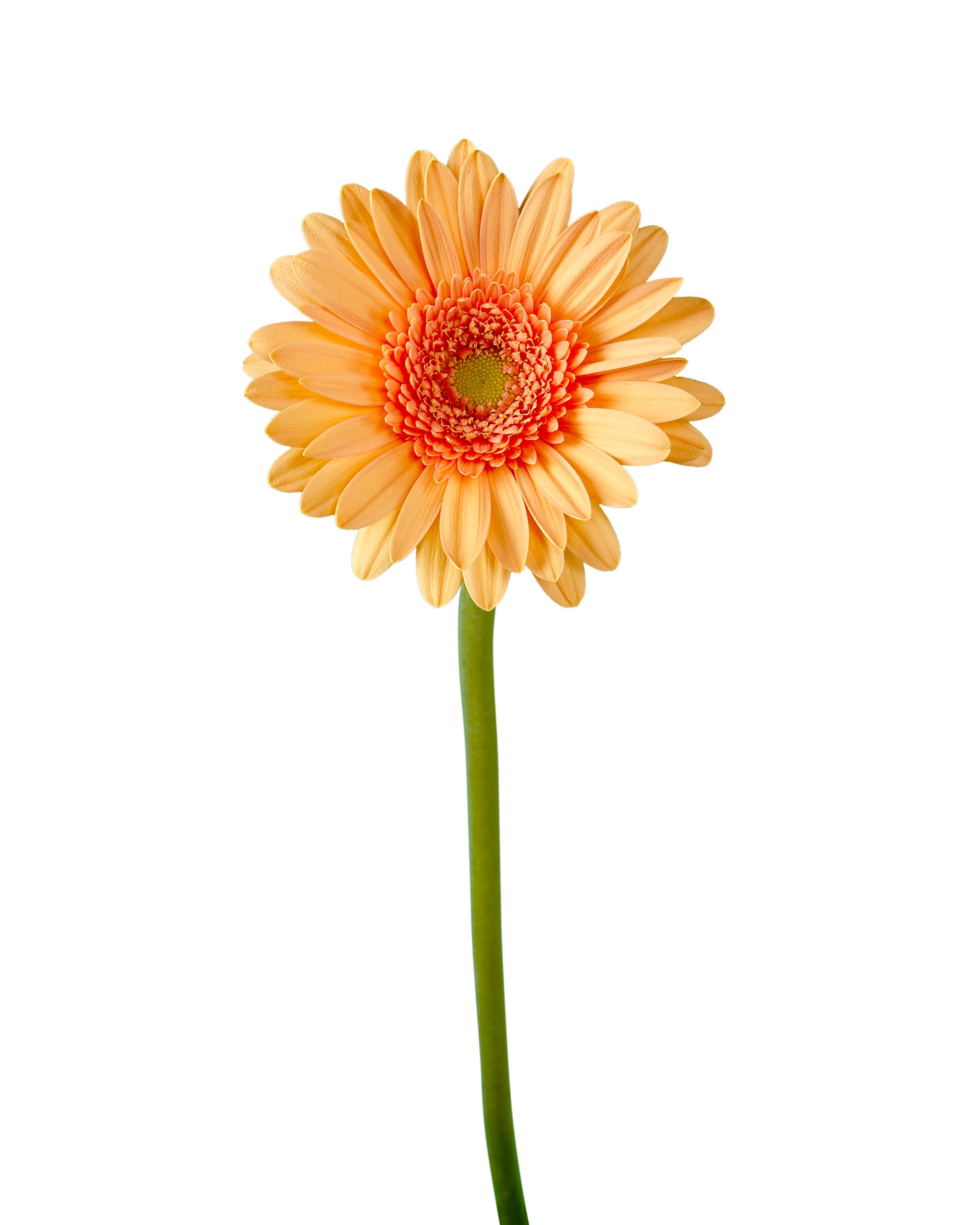 Galaxy Mini Gerber Daisy