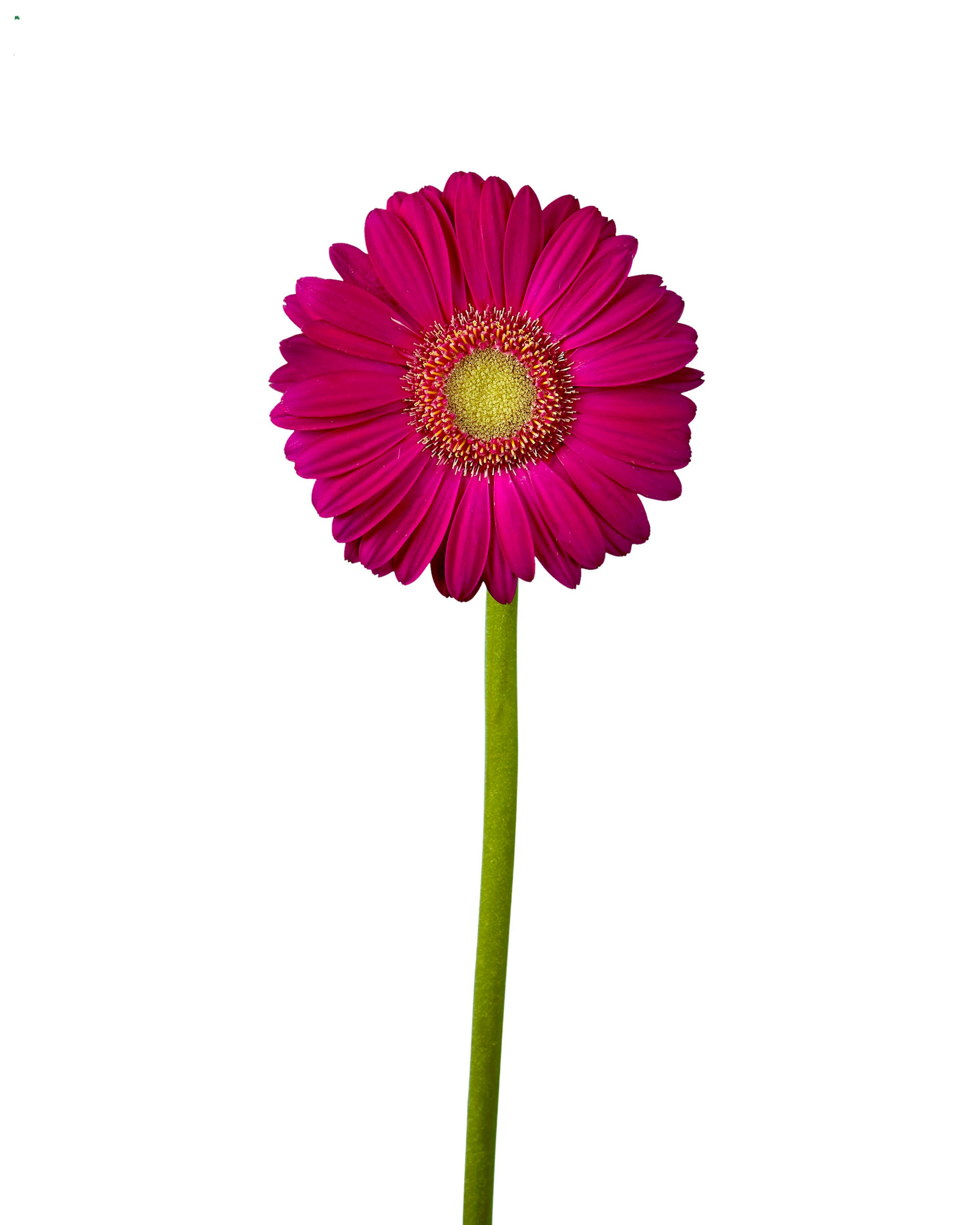 Scotty Mini Gerber Daisy