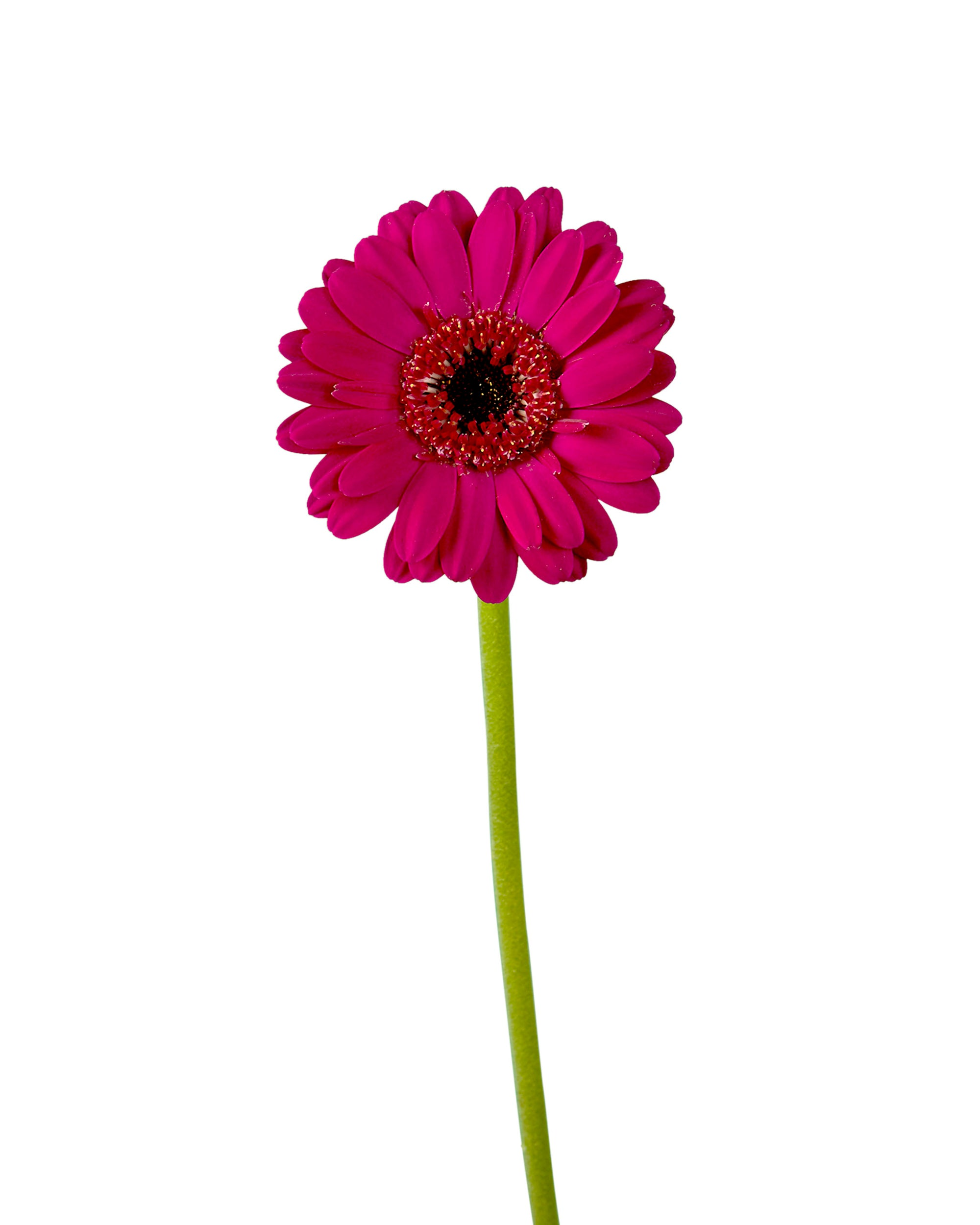 Navy Mini Gerber Daisy