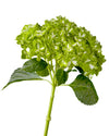 Super Select Dark Green Variegated Hydrangea 20CM