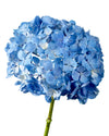 Super Select Shocking Blue Hydrangea 20CM