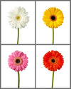 Jumbo Gerber Daisy Mixed Box 371